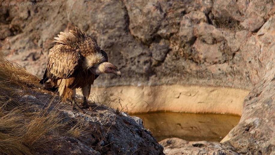Crimean vultures 16