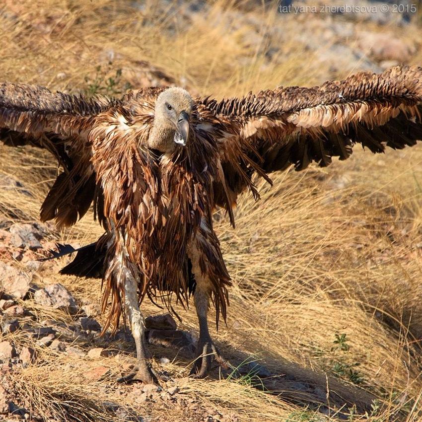 Crimean vultures 17