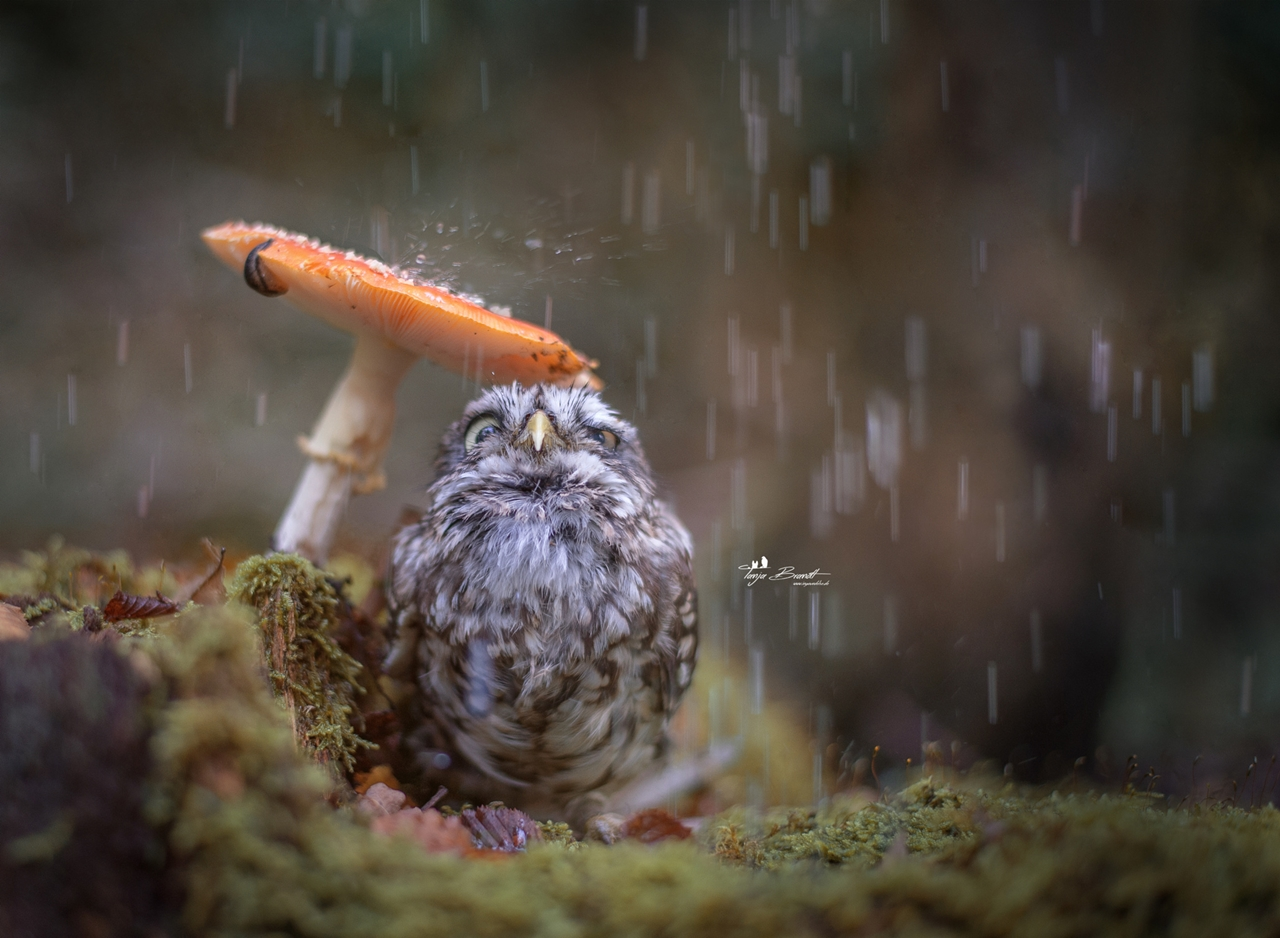 Cute Tiny Owl 00