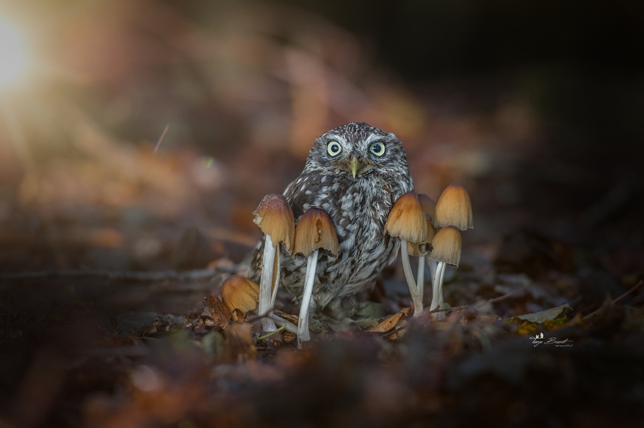 Cute Tiny Owl 01