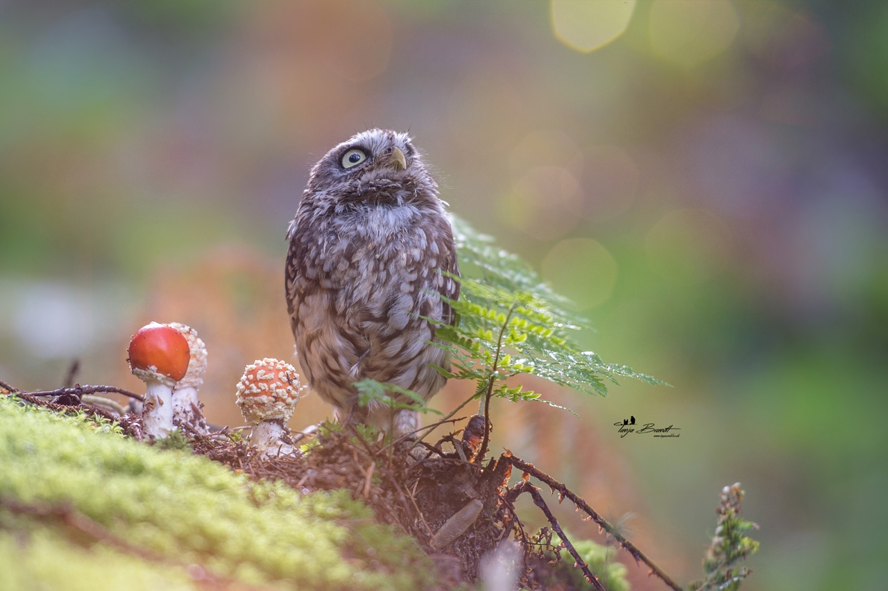 Cute Tiny Owl 02