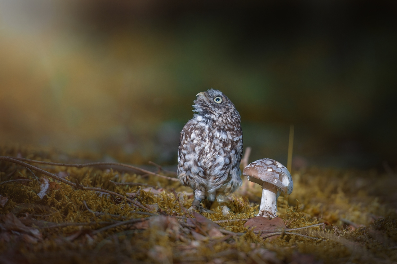 Cute Tiny Owl 04