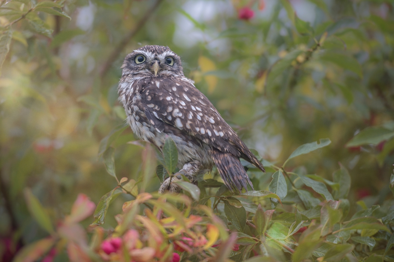Cute Tiny Owl 06