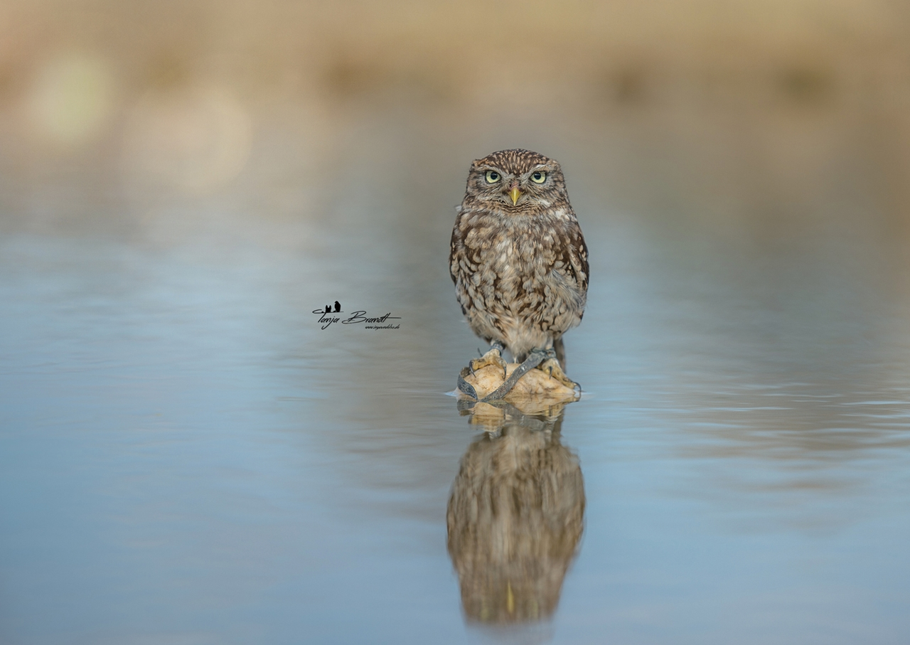 Cute Tiny Owl 14