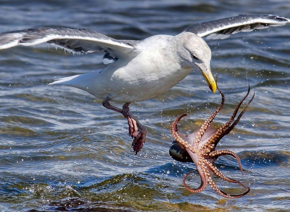 Удивительные кадры охоты чайки на осьминога