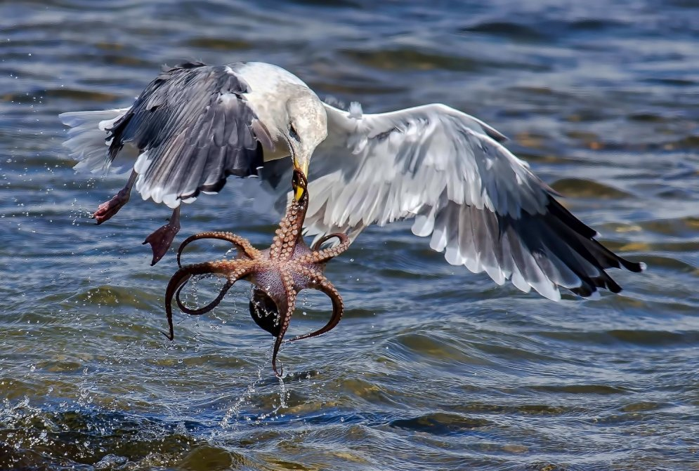 Gull hunting for octopus 06
