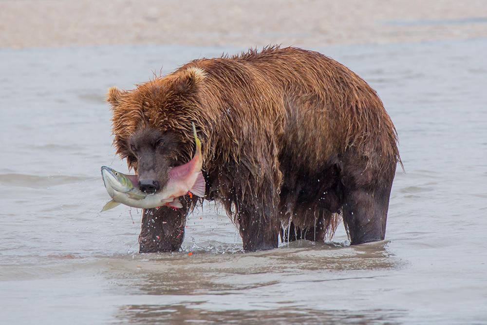 Kamchatka the Land of bears 17