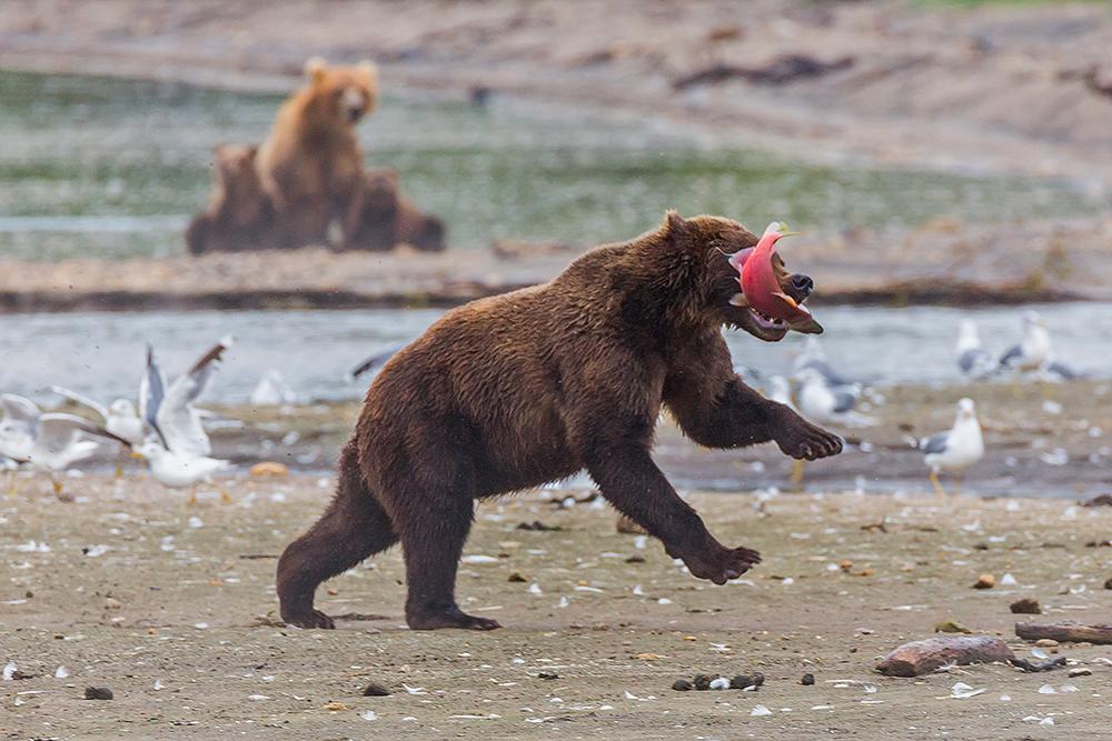 Kamchatka the Land of bears 18