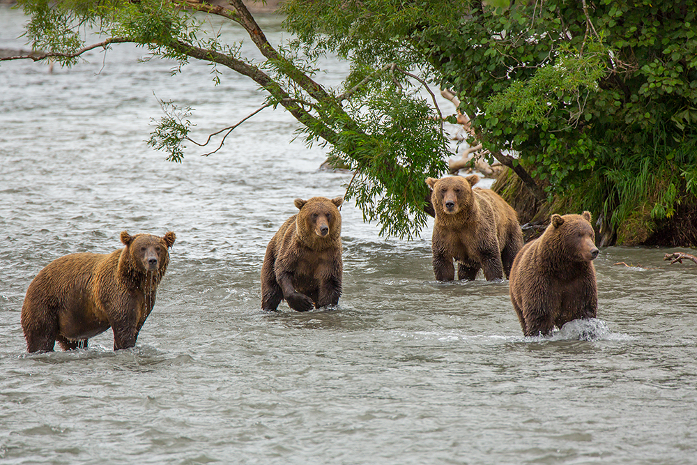 Kamchatka the Land of bears 19