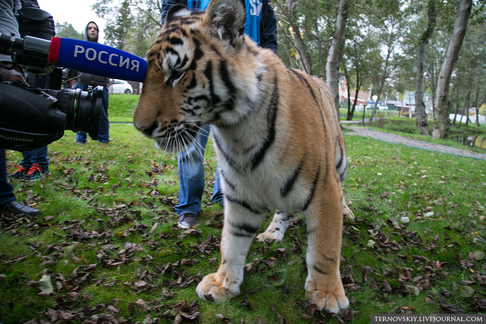 Tiger's World and his adventures in Russia 13