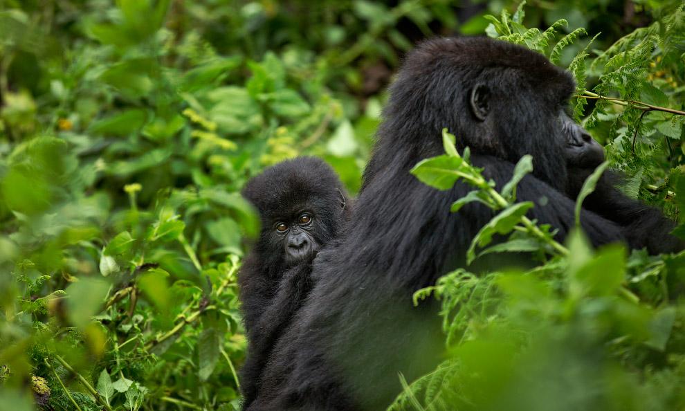 gorilla 05
