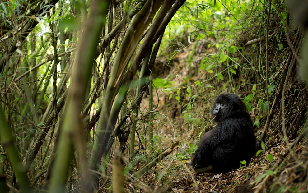 gorilla 07