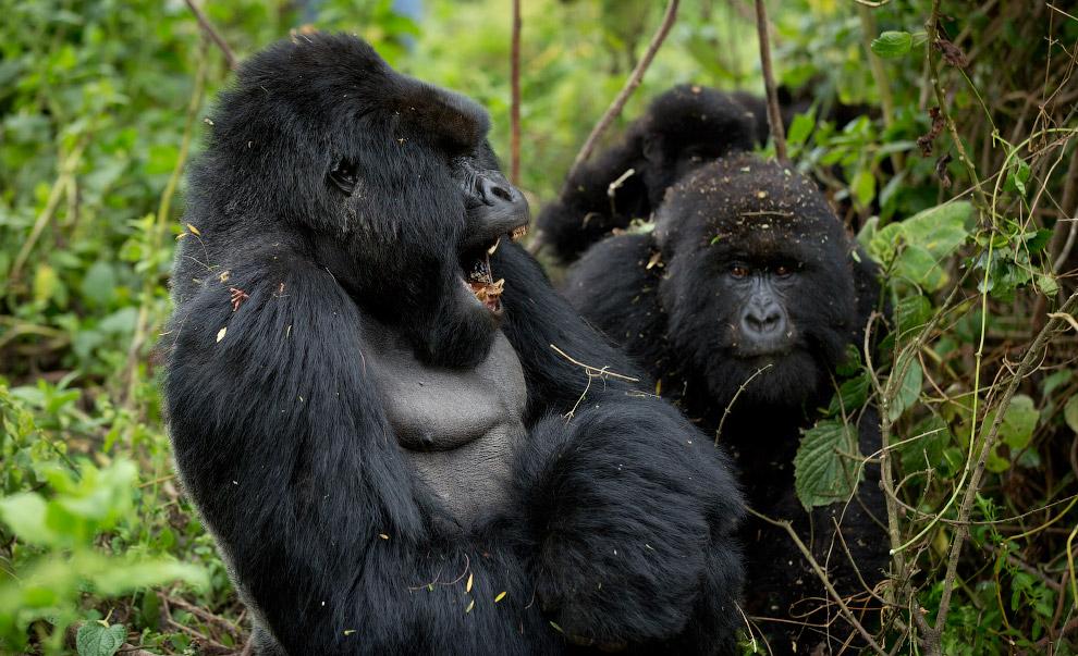 gorilla 08