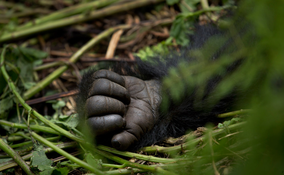 gorilla 10