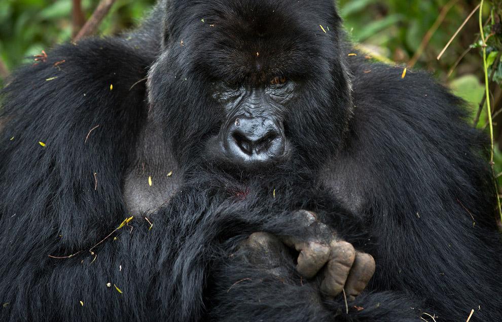 gorilla 14