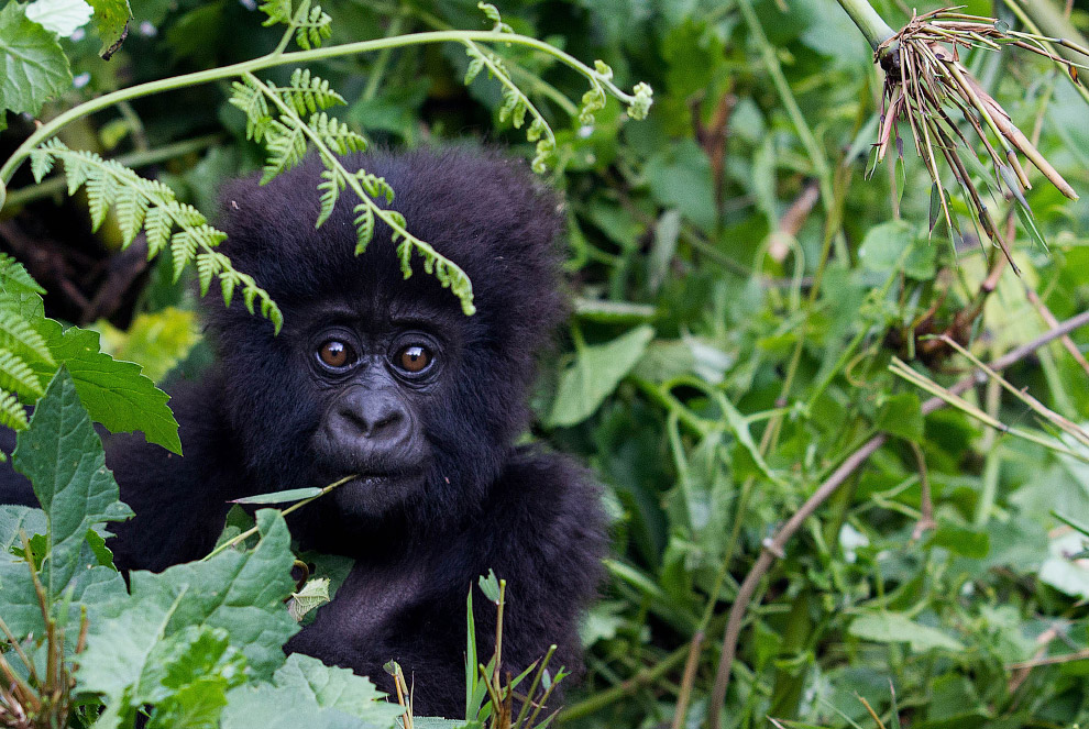 gorilla 18