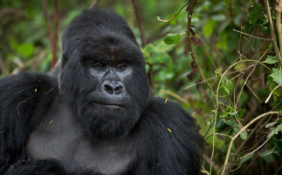 gorilla 19