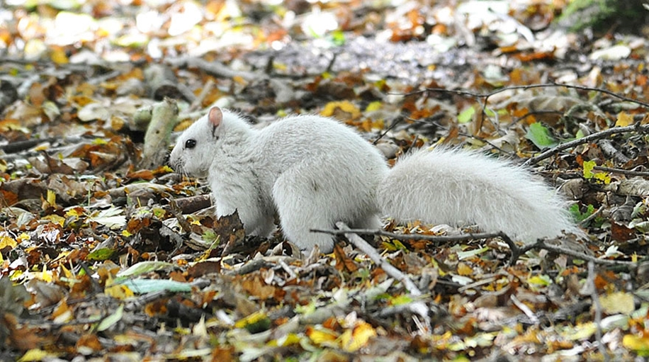 rare-white-squirrel-photo-andrew-fulton-marbury-country-park-uk-1