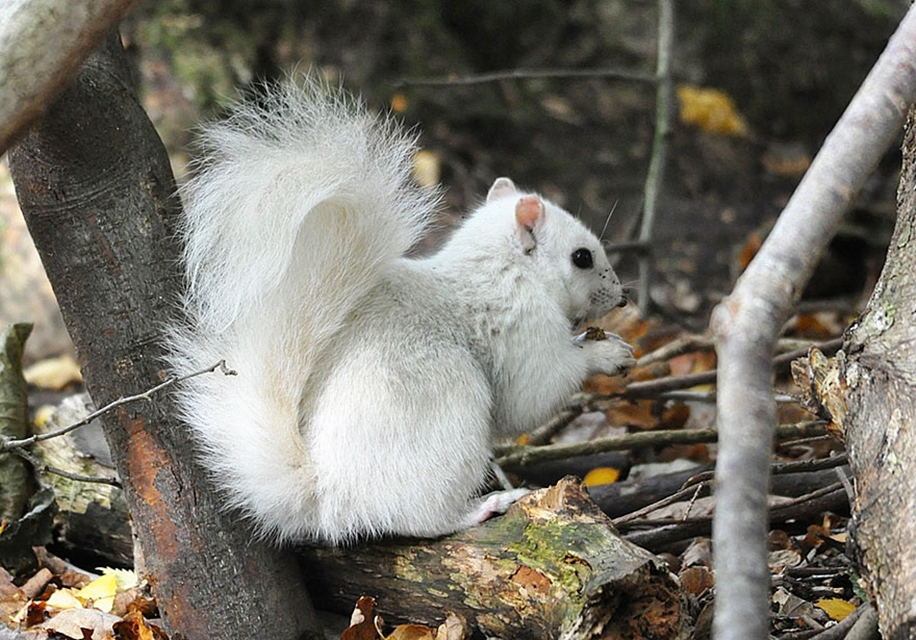 rare-white-squirrel-photo-andrew-fulton-marbury-country-park-uk-2