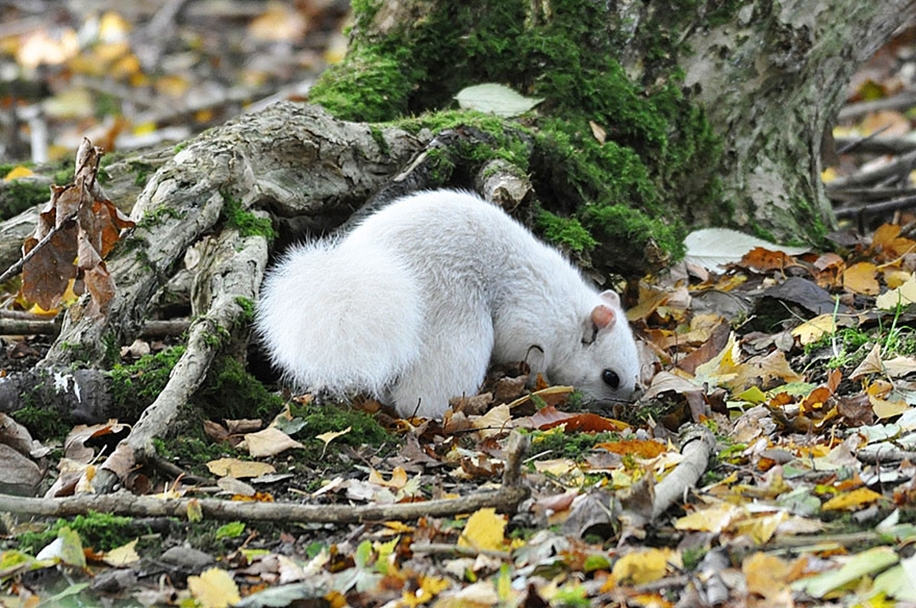 rare-white-squirrel-photo-andrew-fulton-marbury-country-park-uk-3
