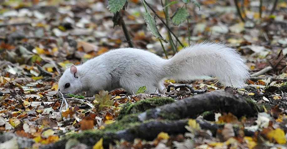 rare-white-squirrel-photo-andrew-fulton-marbury-country-park-uk-5