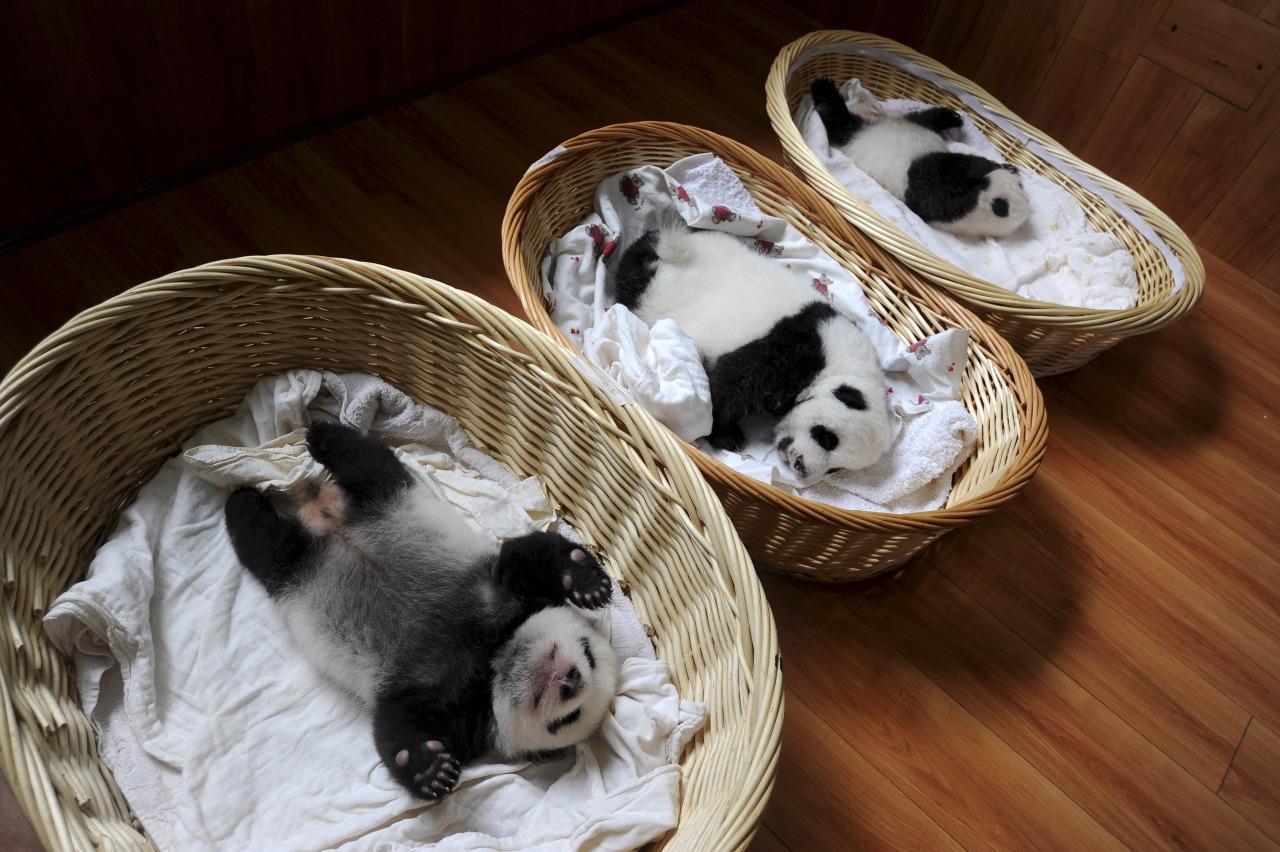 Очаровательные малыши панды
