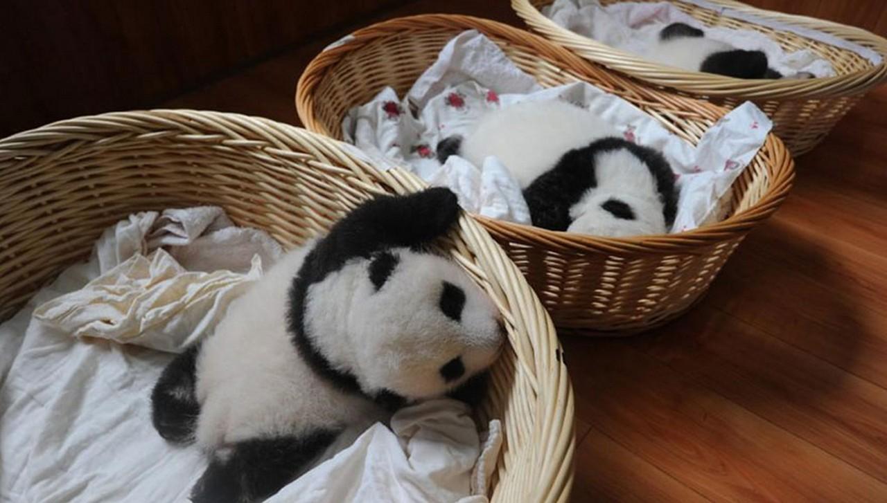 Cute baby Panda 02