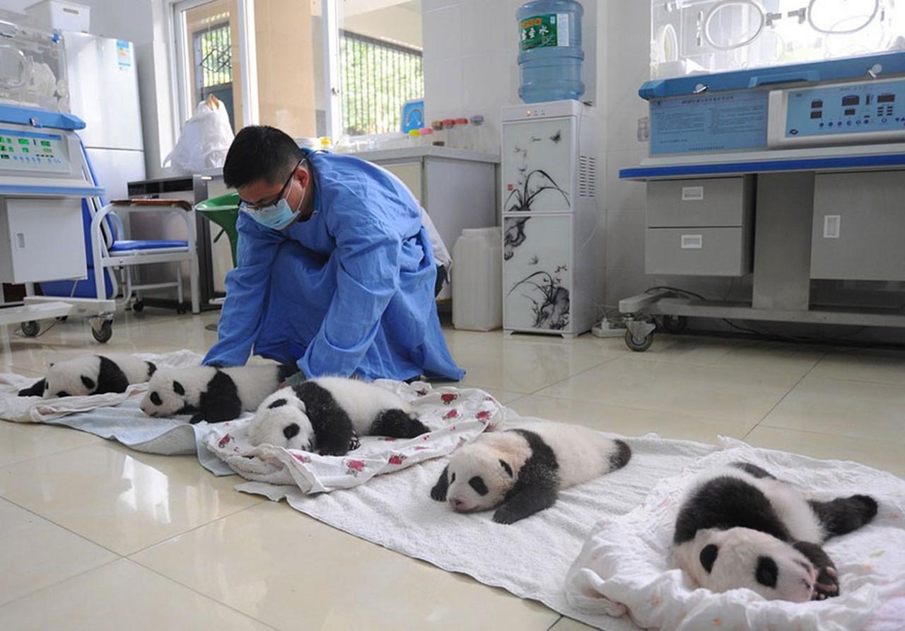 Cute baby Panda 03