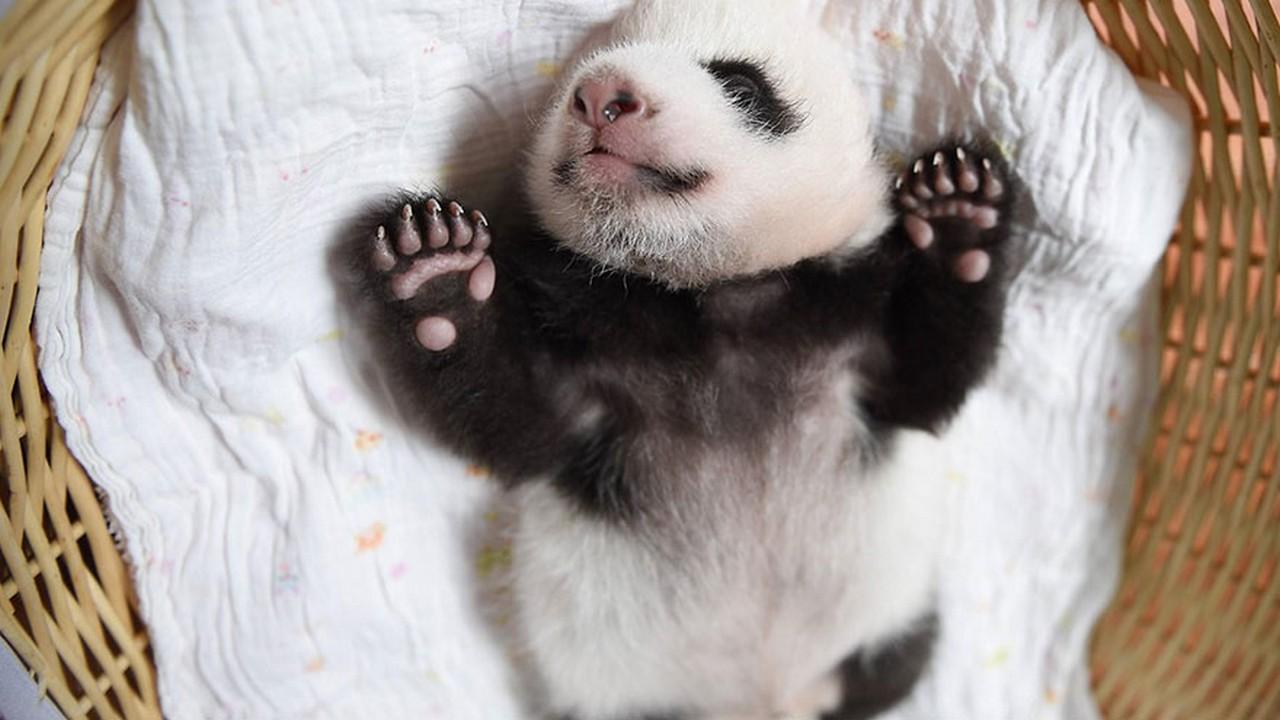 Cute baby Panda 04
