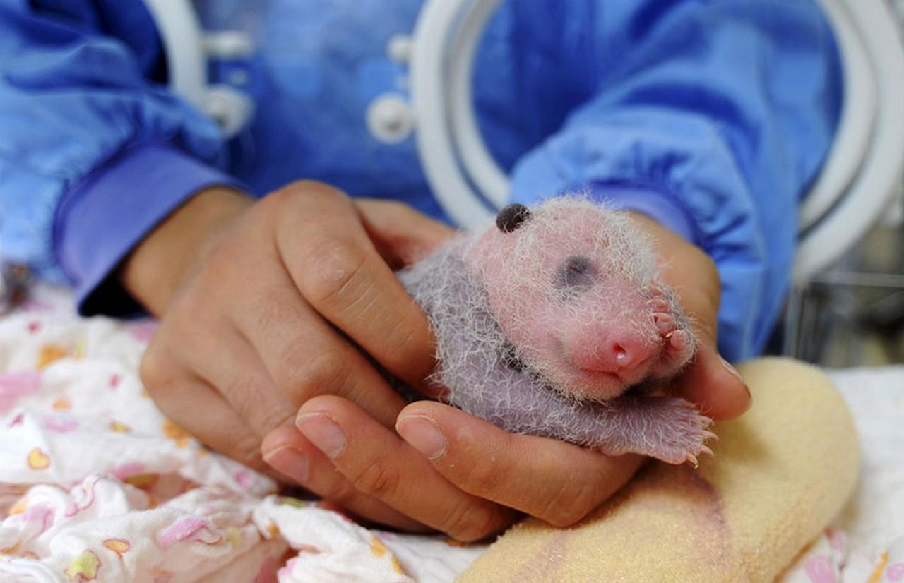 Cute baby Panda 06