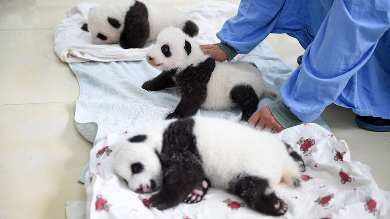 Cute baby Panda 08