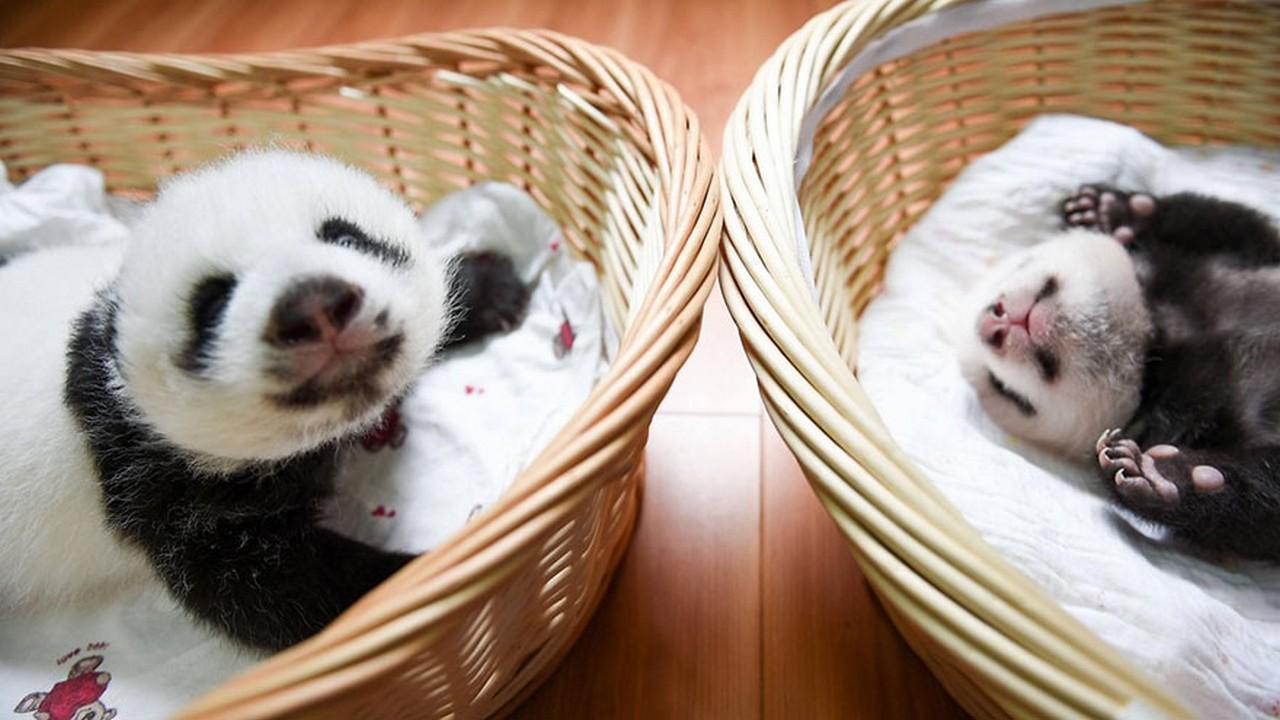Cute baby Panda 09