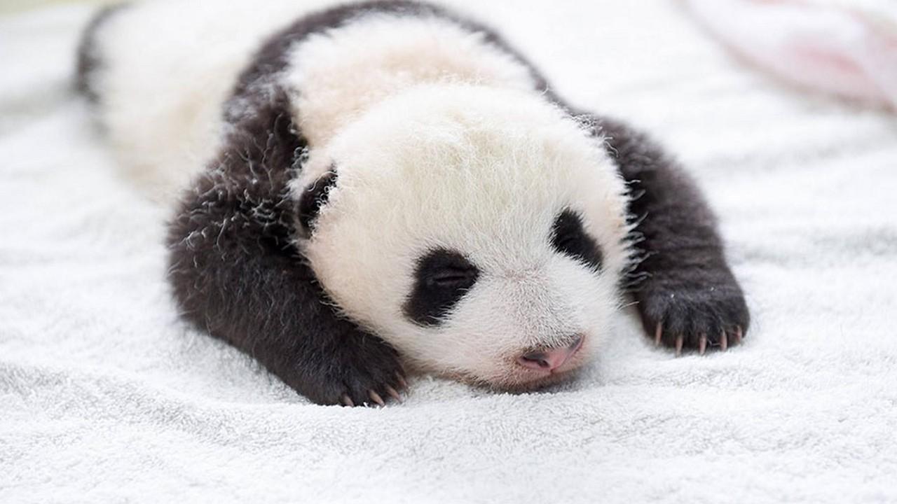Cute baby Panda 11