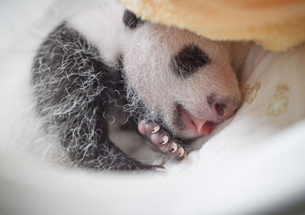 Cute baby Panda 14
