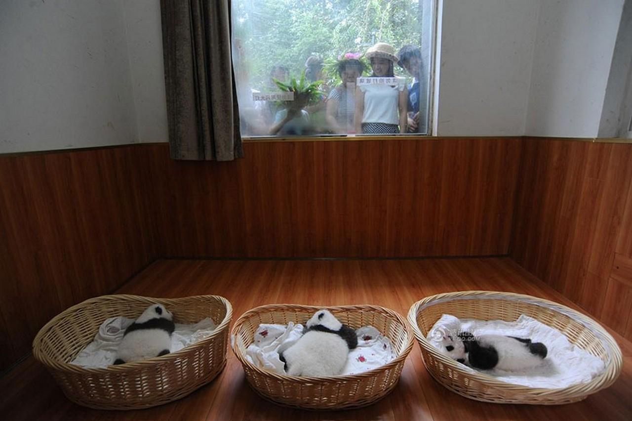 Cute baby Panda 15