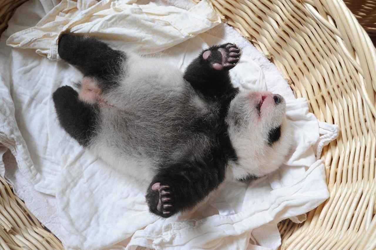 Cute baby Panda 16