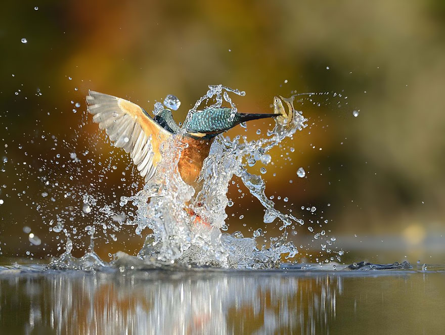 Photographer Finally Takes Perfect Shot Of Kingfisher 03
