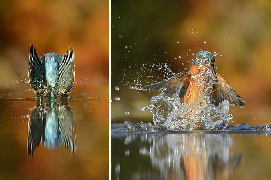 Photographer Finally Takes Perfect Shot Of Kingfisher 06