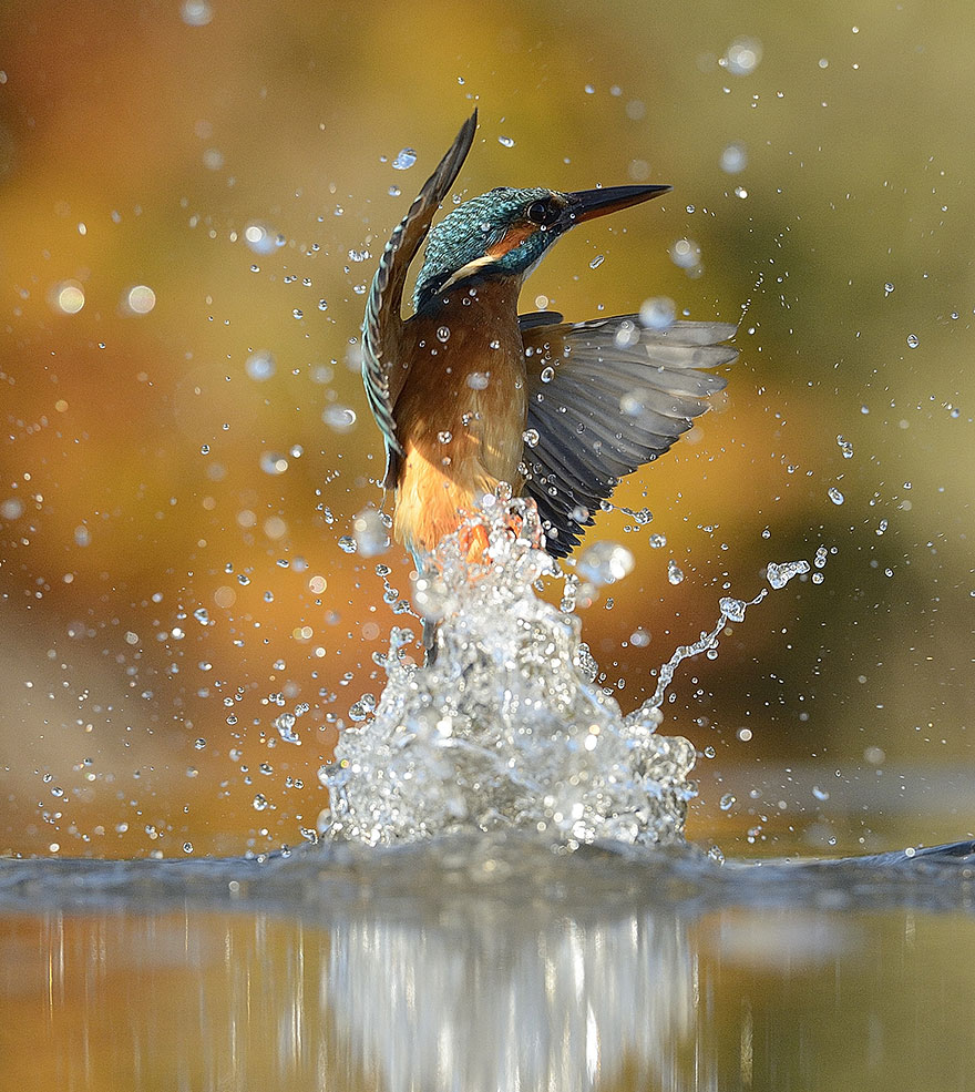Photographer Finally Takes Perfect Shot Of Kingfisher 07