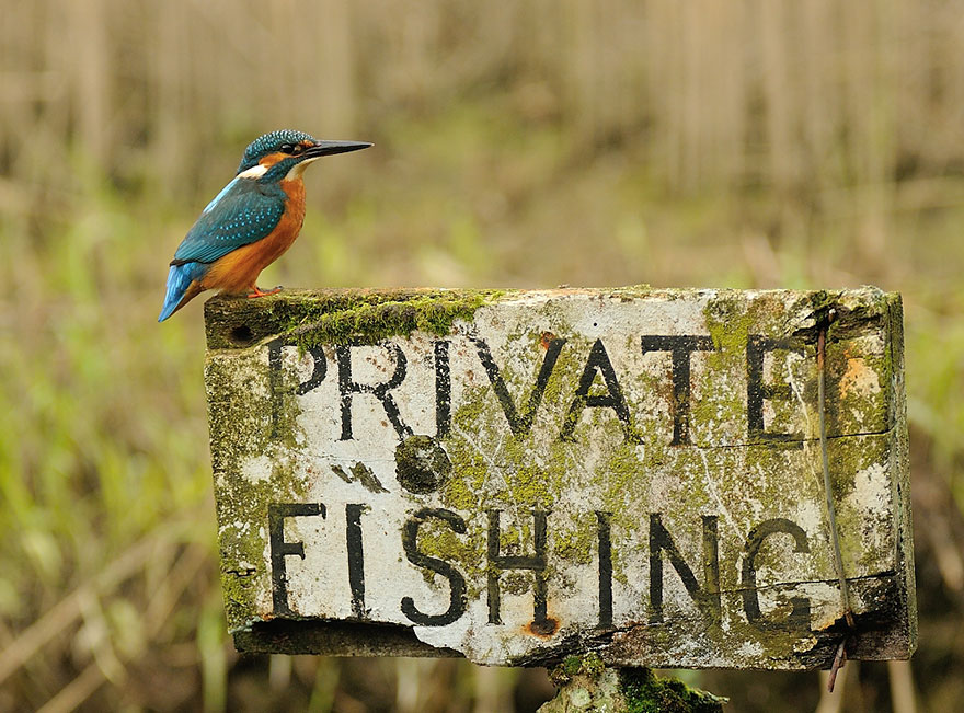Photographer Finally Takes Perfect Shot Of Kingfisher 08
