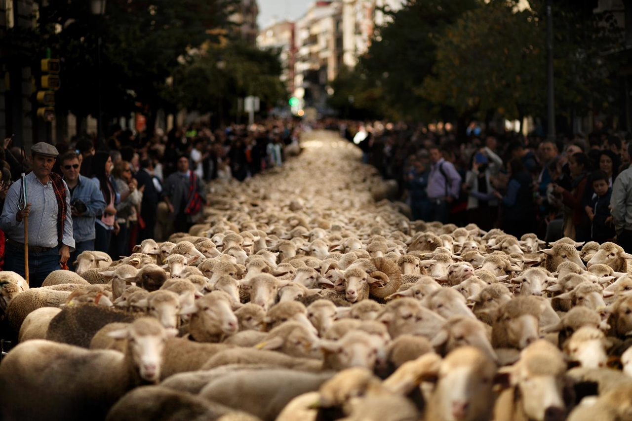 The parade of sheep 01