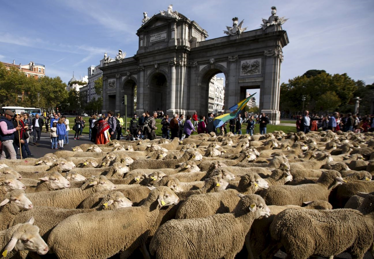 The parade of sheep 12