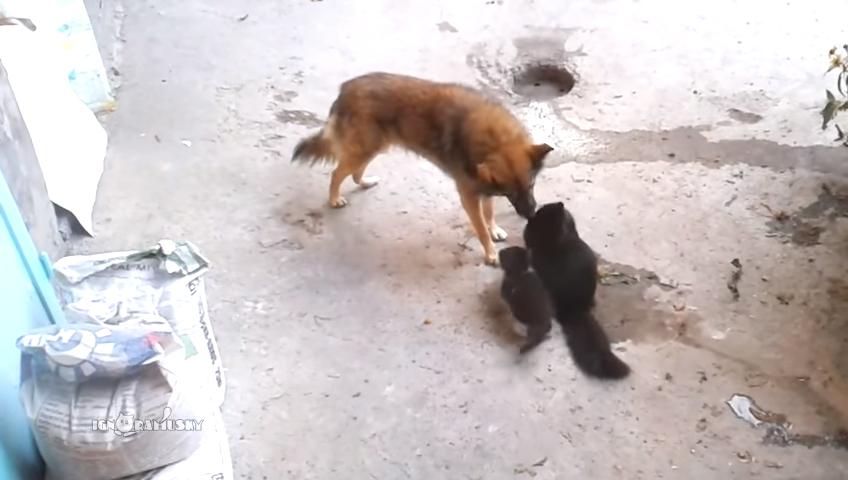 Мама-кошка знакомит котят с другом