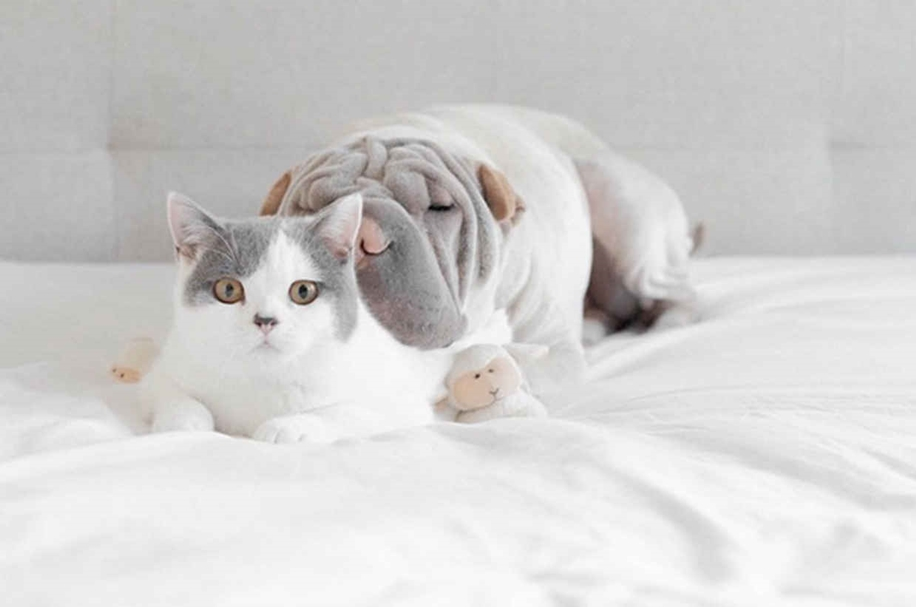 Photogenic Shar Pei and Cat are the Cutest of Best Friends 04