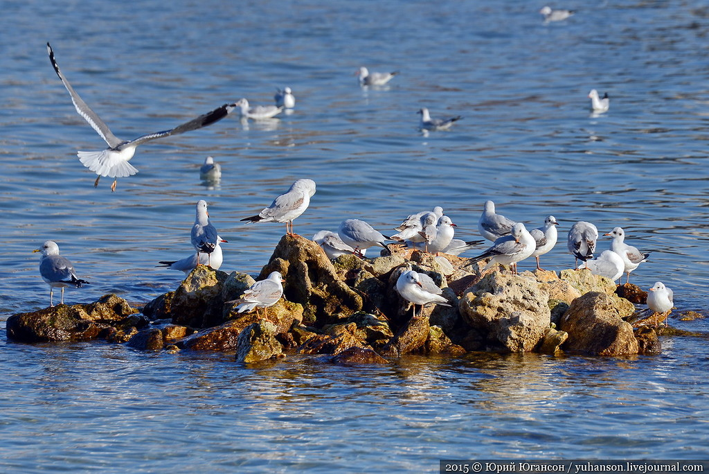 SEAGULLS. Rookery at the Omega 02