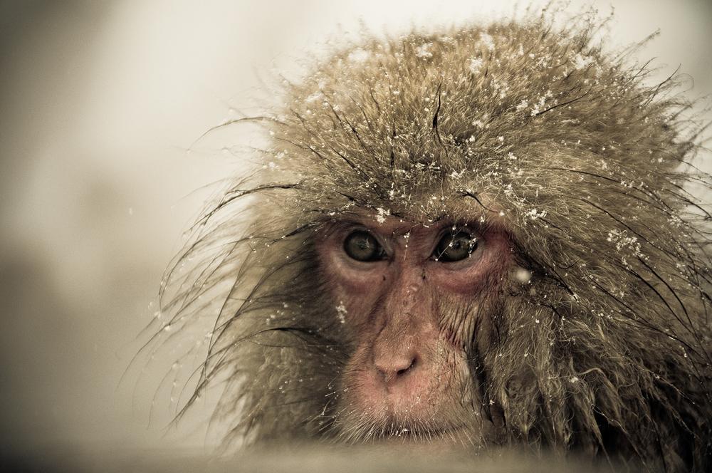 Снежные обезьяны, которые любят греться в термальных бассейнах