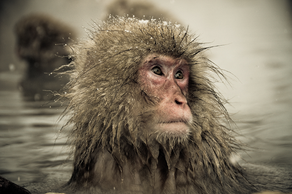Snow monkeys who love to bask in the thermal pools 03