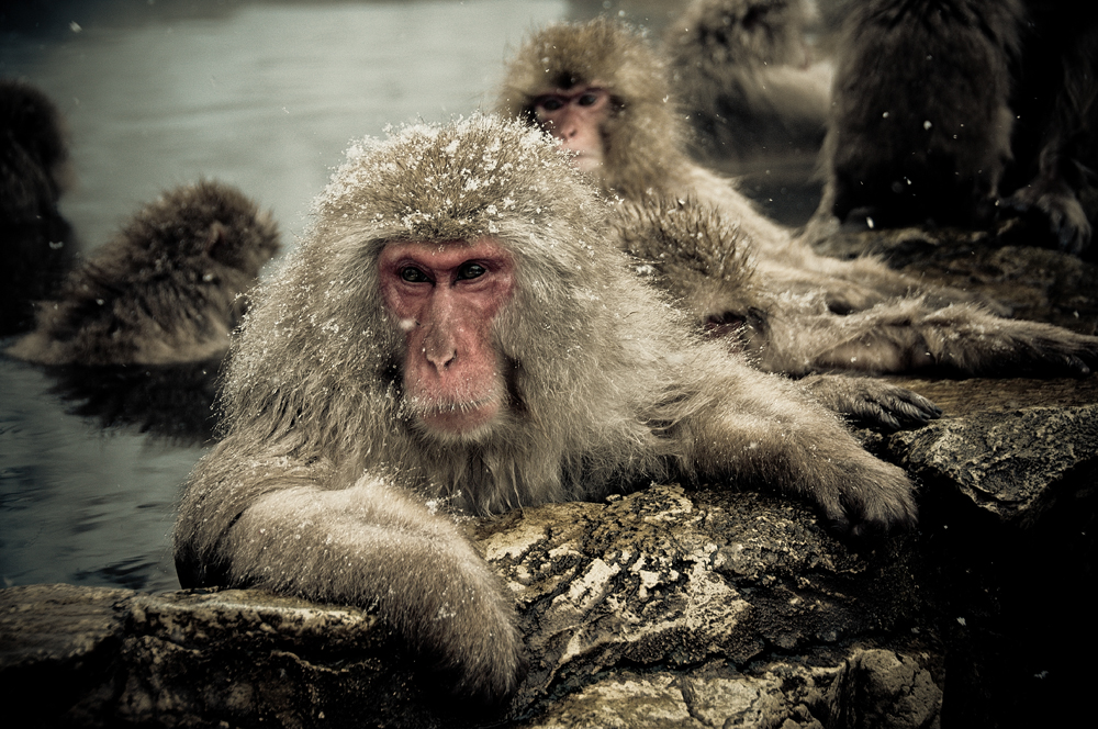 Snow monkeys who love to bask in the thermal pools 04