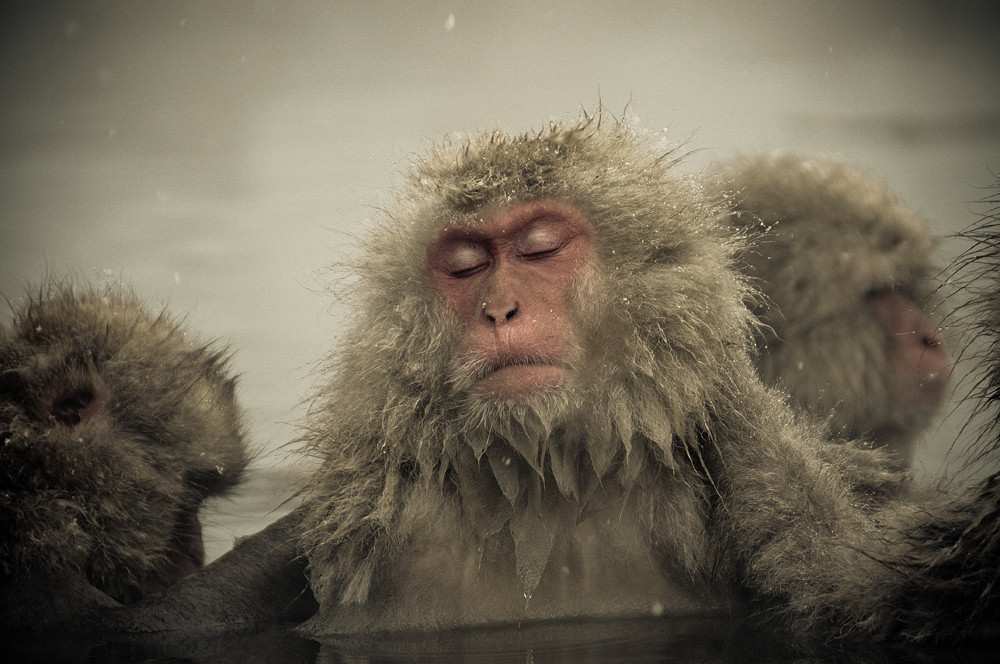 Snow monkeys who love to bask in the thermal pools 06