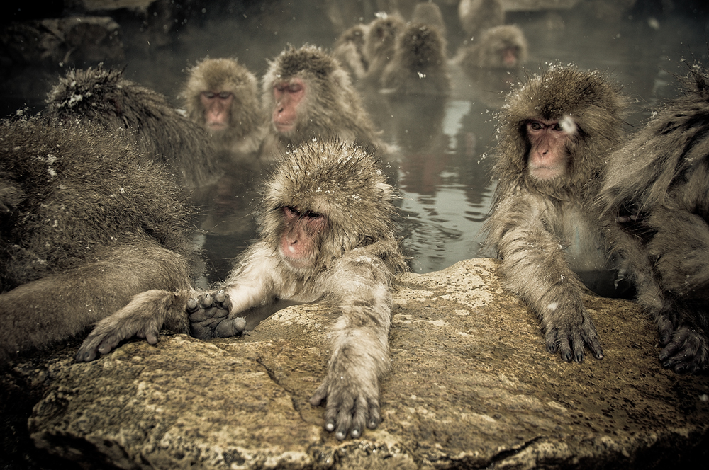 Snow monkeys who love to bask in the thermal pools 07